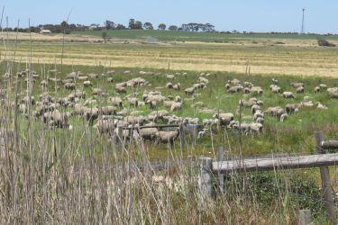 #150 Kangaroo Island Sheep