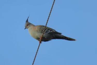 #123 Crested Pigeon