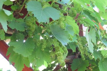 #133 Have you ever seen grapes bloom?