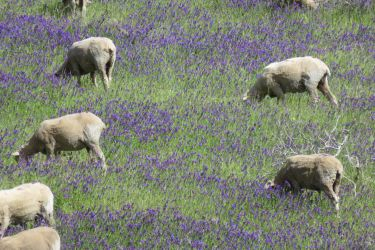 #140 Grazing in the Nierembergia