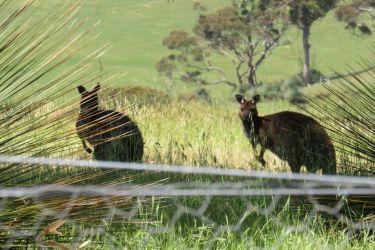 #168 Wild Kangaroos