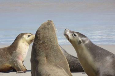 #161 Australian Sea Lions