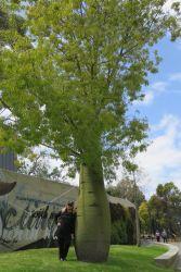 #189 Queensland Bottle Tree