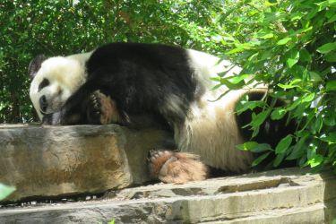 #192 Giant Pandas