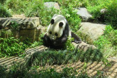 #191 Giant Pandas