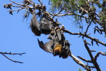 #194 Fruit Bats