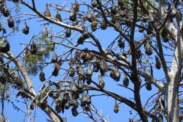 #193 Fruit Bats
