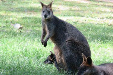 #185 About Kangaroos