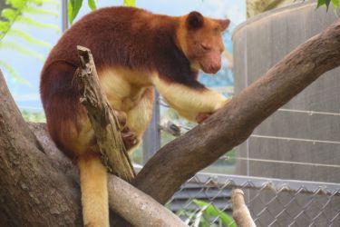 #187 Goodfellow's Tree Kangaroo