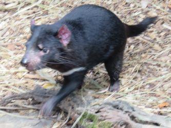 #26 Tarongo Zoo- Tasmanian Devil