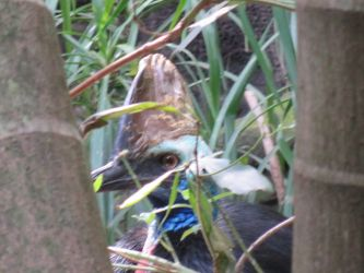 #25 Cassowary up close and personal...