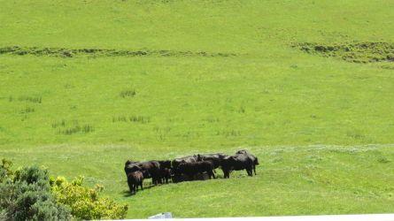 #93 Cows  & Bushflies