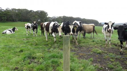 #95 Bush Flies and Cattle