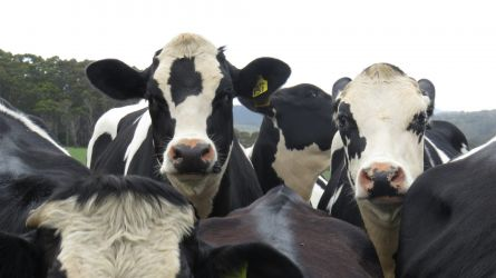 #96 Cows Shit & Flies...